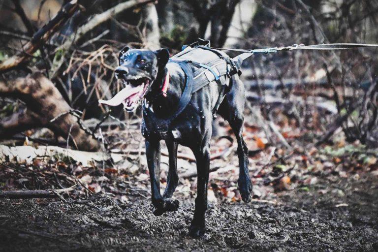 Zughund
