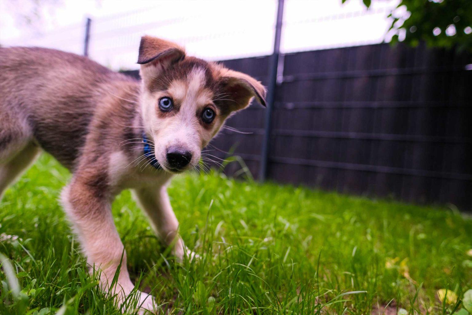 Billie Alaskan Husky